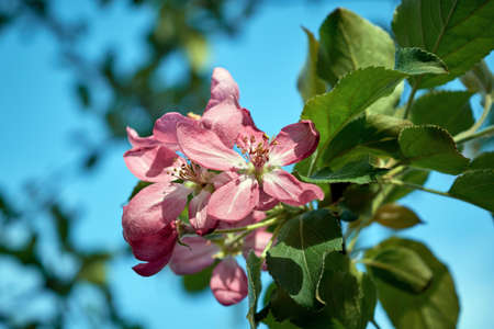 Pink young blossomed Apple tree flower on the background of green leaves and blue sky. The flowers are brightly lit by sunlight. Petals and stamens are clearly visible. Gardening and farming.