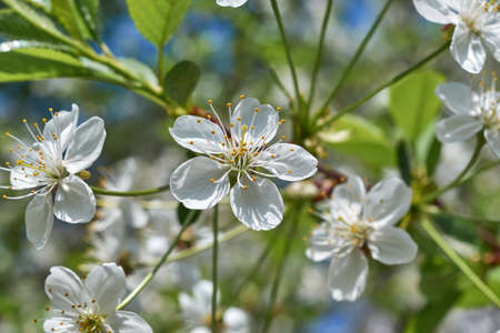 A few blossoming white flowers with pistils and stamens on a cherry tree. Banco de Imagens