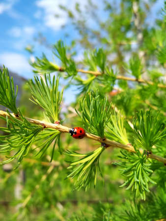 Ladybug red with black spots sitting or crawling on a twig of a coniferous tree. Banco de Imagens