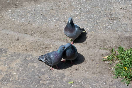 Two pigeons kiss, the third looks at them with jealousy. Love, friendship. Love triangle. The problem is, the third wheel. Pigeons sit on the pavement.