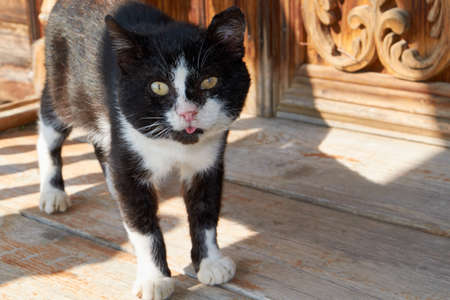 The old, battered and experienced cat stuck out his tongue and looks at us. One eye is damaged and one ear is torn at the edges. Old age and loneliness. Protection of the house from rats and mice. Banco de Imagens
