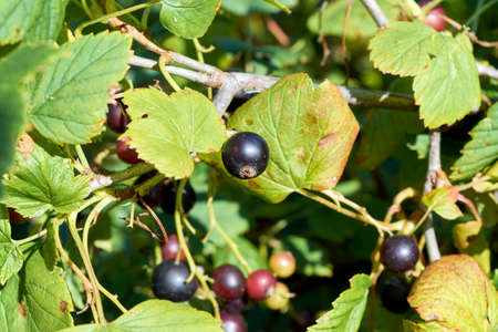 A few blackcurrant berries on the branches of a shrub with green leaves. Tasty and healthy food for health. Warm summer day, the sun is shining. Ripe, juicy and fresh berries. Banco de Imagens