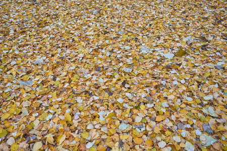 A lot of autumn leaves of different colors are lying on the ground. Birch leaves covered the ground in a solid carpet. Autumn nature. Background or backdrop, texture.