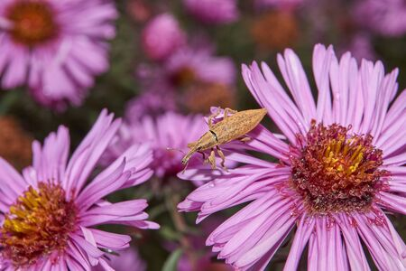 Beetle Weevil (lat. Curculionidae) on a perennial aster flower. Beetle Weevil is looking for shelter for wintering. Stock Photo