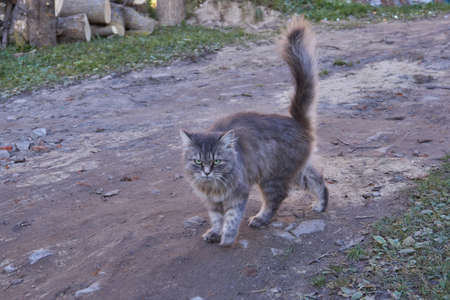 Fall The cat walks in the courtyard of the house. Archivio Fotografico