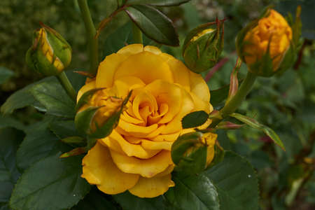 Summer Roses blossomed in the garden of a country house.