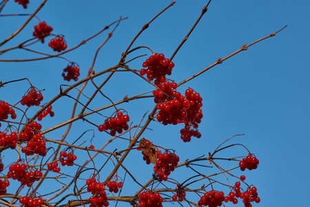 Autumn. Ripe and slightly wilted clusters of viburnum on the last fine autumn days in the garden of a country house.