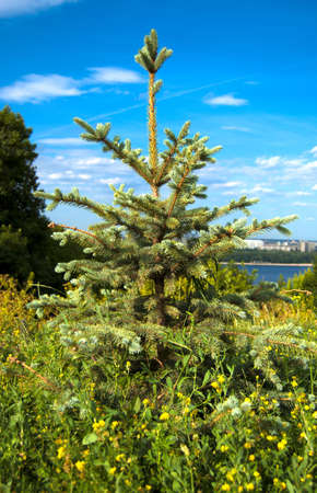 Alone fir tree on summer day