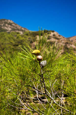 three fir cones hang on the twig