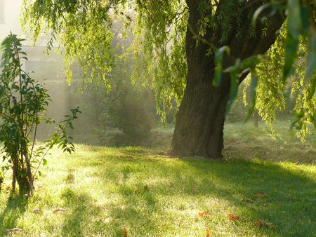 Weeping willow in the morning sunlight photo
