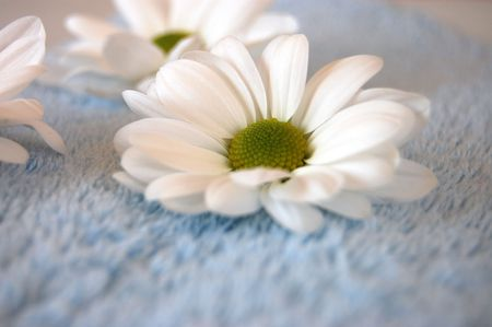 White daisies on a soft blue towel Stock Photo - 2408310
