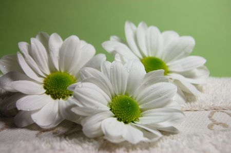 Water drops on three white daisies on a towel with a green background Stock Photo