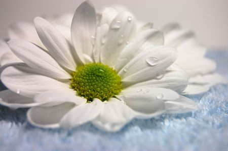 Closeup of white daisies on a soft blue towel