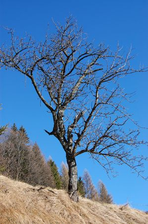 Single tree with no leaves with the blue sky and the forest in the background photo