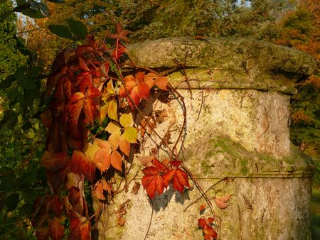 changing colors: The vine climbing over the stone changing colors in autumn