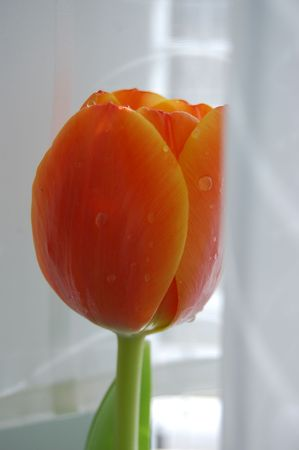 Orange tulip by the window with the white curtains photo