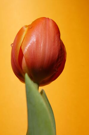 Water drops on an orange tulip on the orange background as seen from below photo