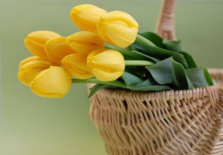 Yellow tulips in a wicker basket with a green background