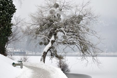Tree with bare branches and full of mistletoe in the winter scene by the lake photo