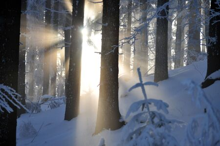 Sun rays in the winter forest Stock Photo - 4312856