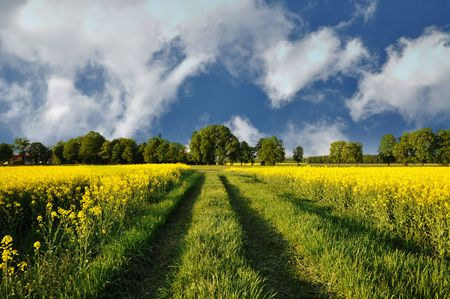Path through the canola field and beautiful cloudy sky