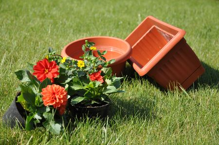 Red dahlias and yellow flowers with flowerpots on a grass photo