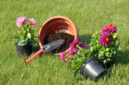 Pink and purple dahlias with gardening shovel and a pot full of soil on a grass Stock Photo