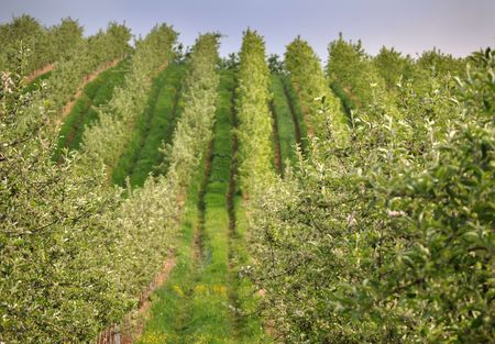 Rows of trees in the apple plantation photo