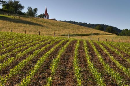 Spring field with rows of young corn. Church in the background Stock Photo - 4959106