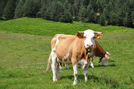Cows grazing on a green pasture in Julian Alps, Slovenia Stock Photo - 5163470