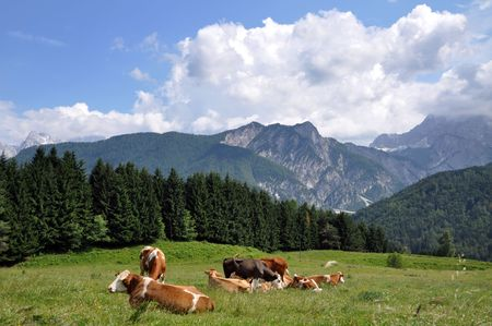 Cows grazing and resting on a green pasture in Julian Alps, Slovenia Stock Photo - 5163474