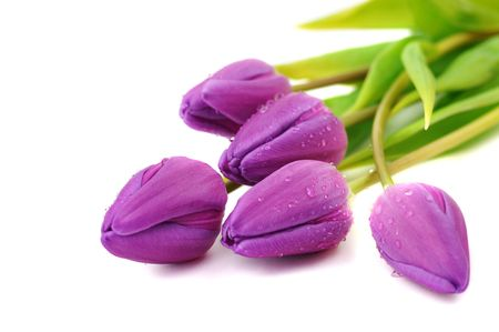 Wet purple tulips, isolated on white