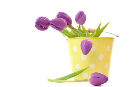 Wet purple tulips in a spotted bucket, isolated on white photo