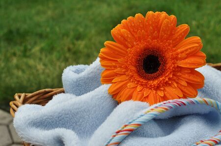 Wet orange gerbera on a soft blue blanket in a wicker basket photo
