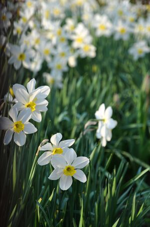 White daffodils Stock Photo - 6755837