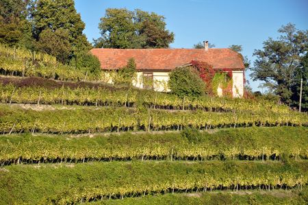 Vineyard and old house. Haloze, Slovenia Stock Photo - 6755872