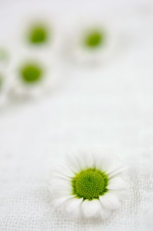 Tiny white daisies photo