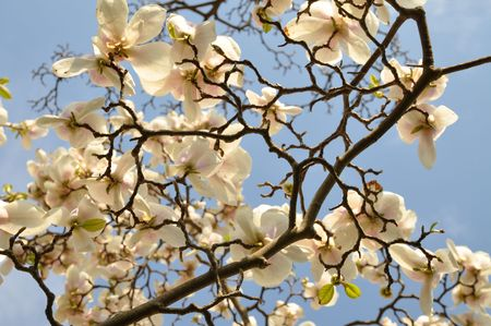 magnolia tree: White magnolias against the clear blue sky Stock Photo