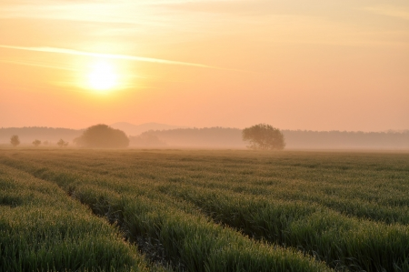 colorful sunrise: Wheat field in the morning light Stock Photo