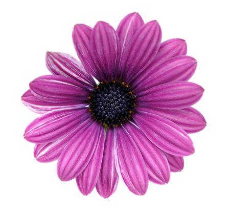 marguerite: Daisy pourpre, isolée sur blanc