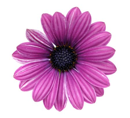 blooming. purple: Purple daisy, isolated on white