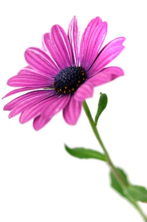 pink daisy: Purple daisy, isolated on white