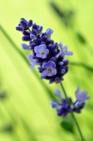 Fresh lavender in the garden