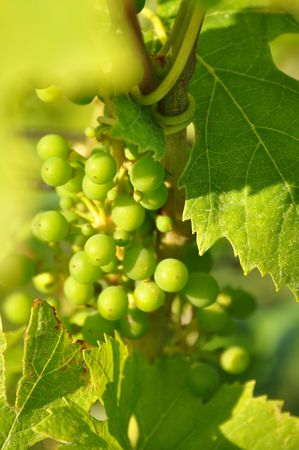 Young grapes macro in sunlight photo