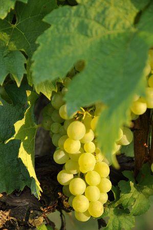 Growing grapes macro in sunlight photo