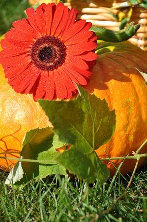 Big pumpkin and red gerbera photo