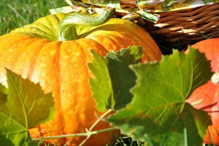 Pumpkins, vine leaves, and wicker basket in the sunlight  photo