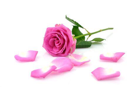 Rosa Rose und Blütenblätter, isolated on white
