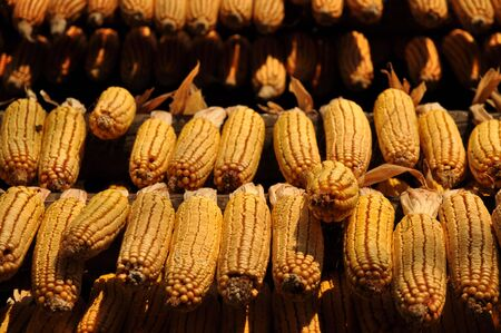 Corncobs drying in the sunlight photo