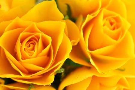 完全なフレームで黄色のバラ 写真素材